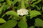 Cornus alba ssp. stolonifera